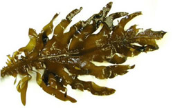 The Fucoxanthin seaweed