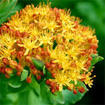 The Rhodiola Rosea plant