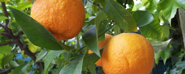 The bitter orange tree